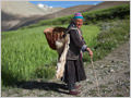 An old woman with traditional harvesting basket among the barley fields of village Photoskar, Ladakh, Jammu and Kashmir, India.