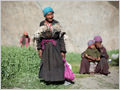 An old woman and her family harvesting green peas in the village of Skyumpata, Ladakh, Jammu and Kashmir, India.