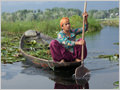 A woman harvesting water lilies and other water plants as a food for cattle, Dal lake, Srinagar, Jammu and Kashmir, India.