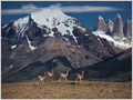 A herd of four guanacos in front of the granite spires of Torres del Paine , Patagonia, Chile.