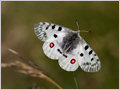 Mountain Apollo butterfly is protect in many countries an is on the IUCN Red List of Threatened Animals.