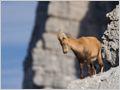 A young Alpine ibex (Capra ibex) on a rocky ledge below Mt. Vršac, Julian alps, Slovenia.