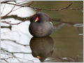 The common moorhen (Gallinula chloropus) rests on an underwater branch on Koseze pond, Ljubljana, Slovenia.