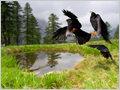 The Alpine chough (Pyrrhocorax graculus) take off on Sleme, Julian alps, Slovenia.
