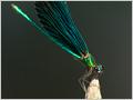 The Beautiful Demoiselle (Calopteryx virgo) captured at Prosca stream, near the village Zaklanec, Slovenia.