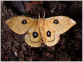 Female specimen of Tau Emperor (Aglia tau) moth in forest reserve Lemovje, Soča valley, Julian Alps, Slovenia.