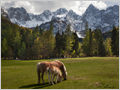 A mare and her foal grazing on the meadow below Mt. Špik and surrounding peaks in Martuljek group, Gozd Martuljek, Slovenia.