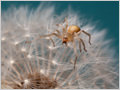 A macro shot of a spider crawling upon the common dandelion (Taraxacum officinale) seed head (capitulum in post-bloom).