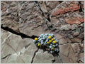 A plant of genus Senecio growing in a stone crack in Torres del Paine National park, Patagonia, Chile.