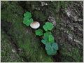 A little fungi and wood sorrel (Oxalis acetosella) in the crack of an old European beech (Fagus sylvatica) tree. Lemovje, Soča valley, Julian alps, Slovenia.