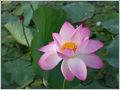 Indian lotus (Nelumbo nucifera) in full bloom, Dal lake, Srinagar, Jammu and Kashmir, India.