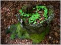 Wood sorrel (Oxalis acetosella) growing in a trunk of a dead European beech (Fagus sylvatica) trunk in forest reserve Lemovje, Soča valley, Julian Alps, Slovenia.