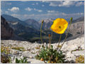 Rhaetian Alps poppy (Papaver alpinum subsp. rhaeticum) glittering in the sun, surrounded by a rocky landscape high above treeline in Fanes-Sennes-Prags Nature Park, Dolomites, Italy.
