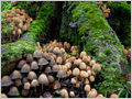 A cluster of Coprinellus micaceus fungus growing on rotting underground European beech (Fagus sylvatica) roots in primeval forest Ždrocle, Mt. Snežnik, Slovenia.
