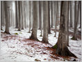 First snow in a beech forest below Krvavec ski resort, Slovenia.