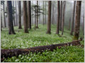 A field of blooming ramsons (Allium ursinum) completely covering the forest floor of natural forest Krokar, Borovška gora, Slovenia.
