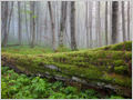 A misty forest scene of large dead European beech (Fagus sylvatica) tree trunk decomposing in the primeval forest Trdinov vrh, Gorjanci, Slovenia.