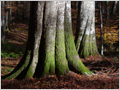 Colossal European beech (Fagus sylvatica) trees growing in the primeval forest Ravna Gora, Gorjanci, Slovenia.