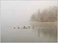 Ducks swimming on Bohinj lake, Julian alps, Slovenia.