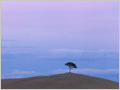 A lonely pine tree in the middle of endless fields, Vescovado, Tuscany, Italy.