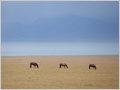 Three horses grazing at the banks of lake Song Kul, Kyrgyzstan.