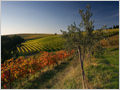 A young olive tree and vineyards in autumn colors. Brič, Istra, Slovenia.