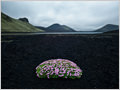 A lonely Cushion Pink (Silene acaulis) growing on the black volcanic sand of Frostastaðahraun, Iceland.