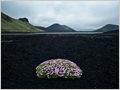 A lonely Cushion Pink (Silene acaulis) growing on the black volcanic sand of Frostastaðahraun, Iceland.