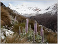 A dust of fresh snow over flowering Giant Lupine (Lupinus weberbauerii) with Nevado Huandoy in the background, Huascarán National Park, Peru.