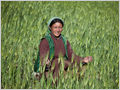 A portrait of a woman farmer in the middle of the barley field, Photoskar, Ladakh, Jammu and Kashmir, India.