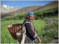 A traditionally dressed woman with harvesting basket in the middle of barley fields, Photoskar, Ladakh, Jammu and Kashmir, India.