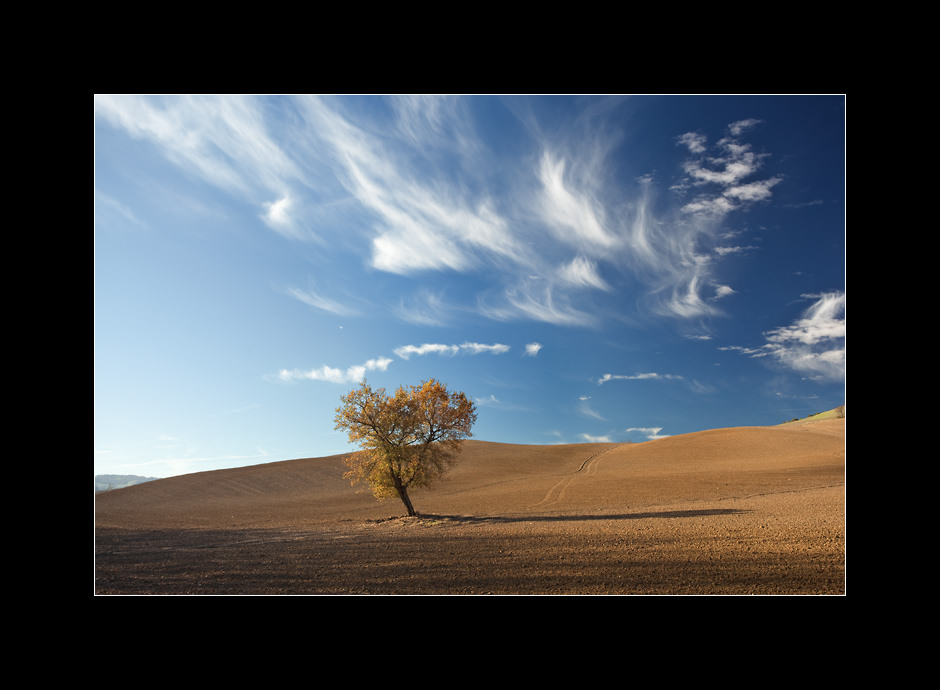 A lonely English oak  (Quercus robur) tree in the middle of endless fields, San Quirico D'Orcia, Tuscany, Italy.