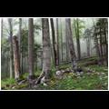 Majestic European beech (Fagus sylvatica) trees growing in the natural forest Krokar, Borovška gora, Slovenia.