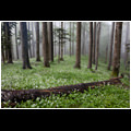 A field of blooming ramsons (Allium ursinum) completely covering the forest floor of natural forest Krokar, Borovška gora, Slovenia.
