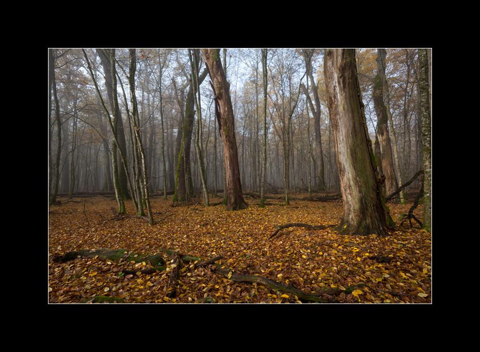 Still standing dead tree trunks of large English oaks (Quercus robur) in the primeval forest Krakovo, Kostanjevica na Krki, Slovenia.