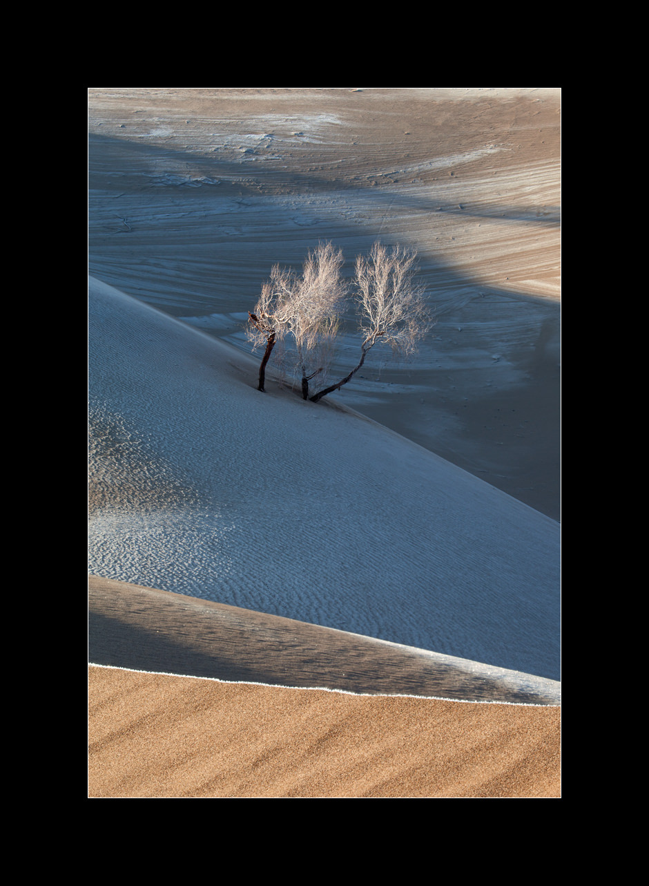 A lonely white saxaul (Haloxylon persicum) tree growing from the frozen sand dunes in the Dasht-e Kavir desert, Iran.